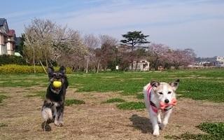 桜、つぼみから開花して
